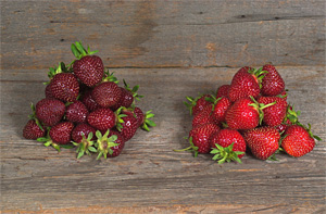 'Purple Wonder' strawberry's (left) deep burgundy color extends throughout the fruit.  Click image for larger view.