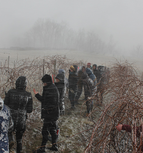 snow squall while grape pruning