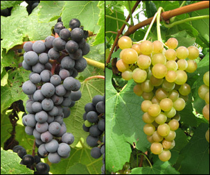 NY95.0301.01 (left) is an organic dark red wine grape with a hint of blueberry flavor. NY76.0844.24 is a cold-hardy white wine grape.