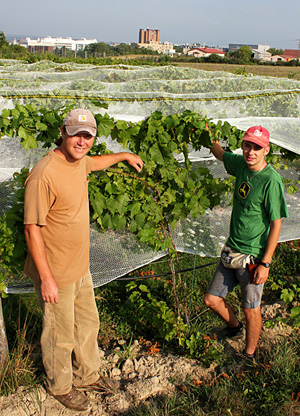 Eric Shatt, left, Cornell Orchards farm manager, and summer intern Joe Young '14 adjust bird netting to protect fruit in the organic vineyard adjacent to the Cornell campus.