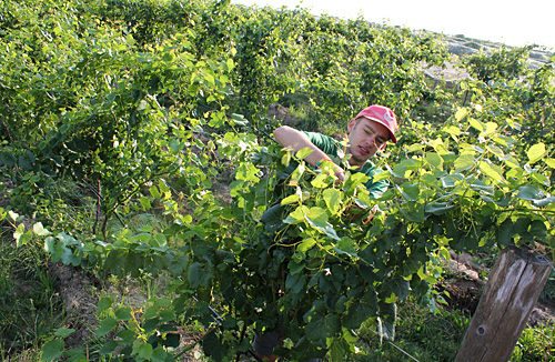 Summer intern Joe Young attaches vines to trellis in the organic vineyard at Cornell Orchards.