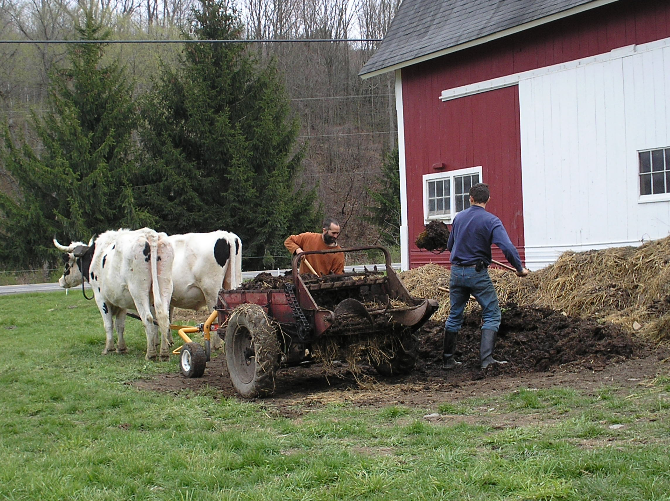 Working Manure Spreader : Working oxen on the farm today cornell small farms program