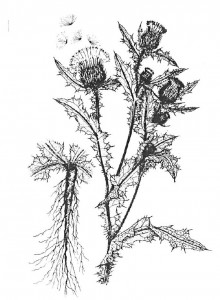 Bull Thistle Illustration