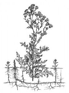 Canada Thistle Illustration
