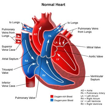 How Does Blood Flow Through The Heart Eett Making Movies